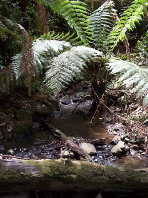 Monbulk Creek ferns