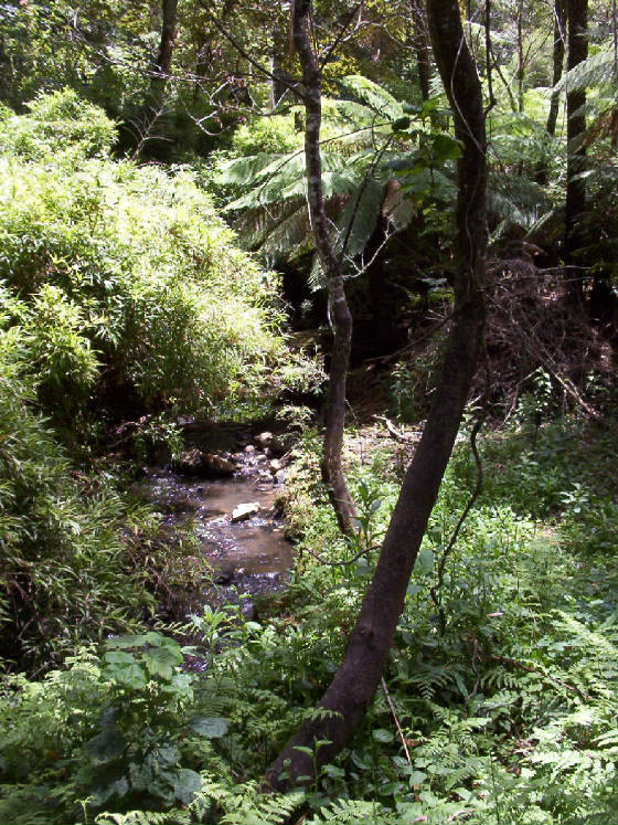Monbulk Creek Bambusa.jpg